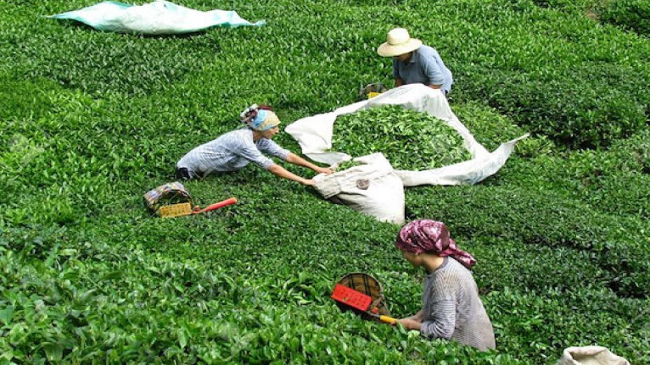 ÇAYKUR, 776 bin ton yaş çay aldı