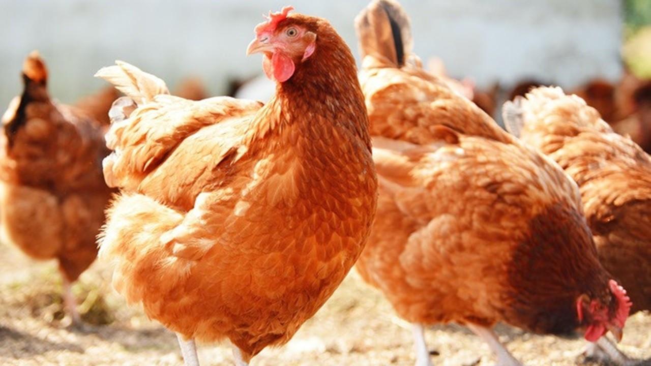 Haziranda tavuk eti üretimi arttı, yumurta üretimi azaldı