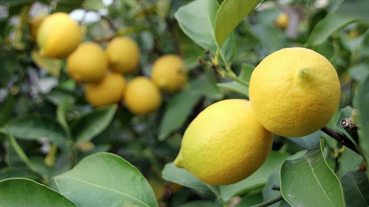 Limon toptancısı 16 firmaya soruşturmada karar