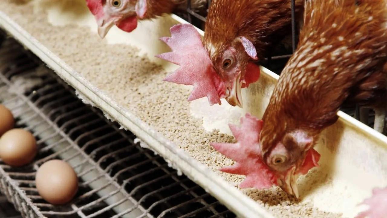 Tavuk ve yumurta üretimi düştü